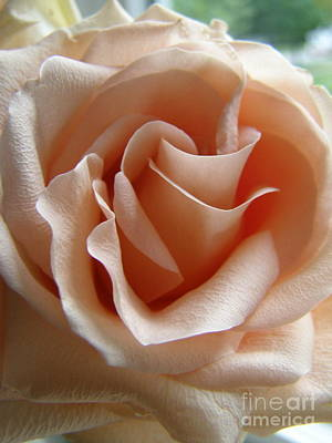 Art Print featuring the photograph Blushing Rose by Margie Amberge