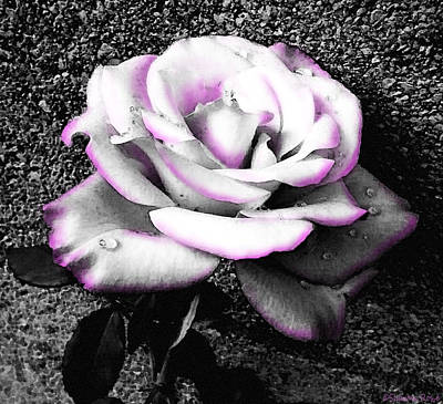 Photograph - Blushing White Rose by Shawna Rowe