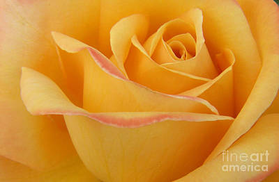 Photograph - Blushing Yellow Rose by Jackie Farnsworth