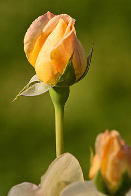 Photograph - Blushing Yellow Rose by Theo OConnor