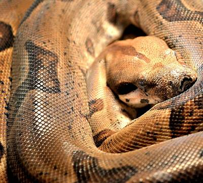 Photograph - Boa Constrictor by Deena Stoddard