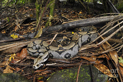 Photograph - Boa Constrictor by Francesco Tomasinelli