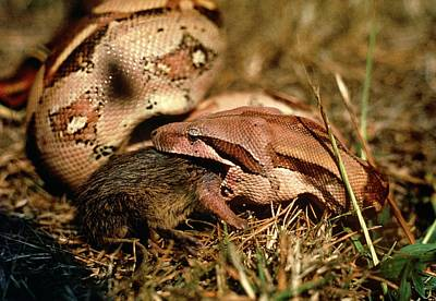 Boa Constrictor Wall Art - Photograph - Boa Constrictor Swallowing Rat by Dr Morley Read/science Photo Library