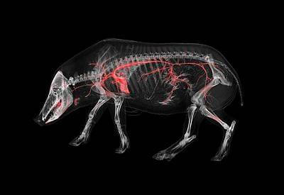 Boar Photograph - Boar Skeleton And Blood Vessels by Anders Persson, Cmiv