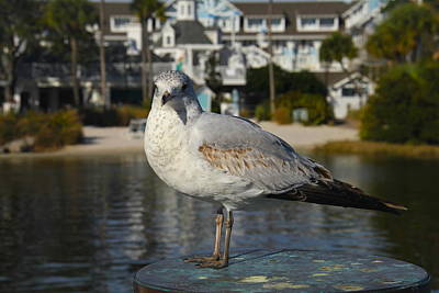 Photograph - Boardwalk Gull by Denise Mazzocco