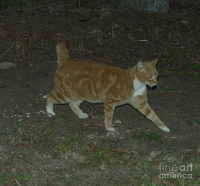Photograph - Bob-tail Cat by Donna Brown