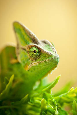 Lizard Photograph - Bob The Chameleon  by Samuel Whitton