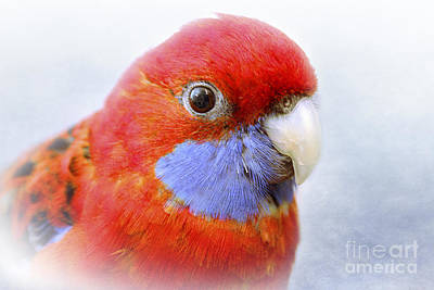 Photograph - Bobby The Crimson Rosella by Terri Waters