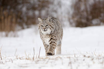 Animals Photograph - Bobcat-wildlife-image 8 by Wildlife Fine Art