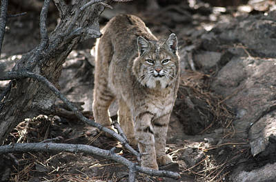Bobcat Adult Portrait Montana Art Print by Tim Fitzharris