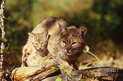 Bobcat And Young, Montana Art Print by Art Wolfe