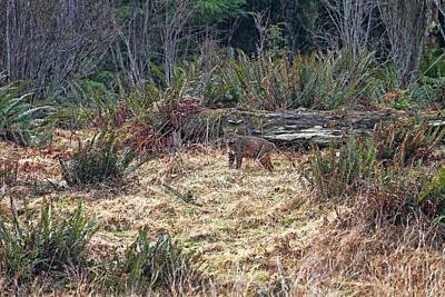 Photograph - Bobcat At The Edge Of The Forest by Peggy Collins