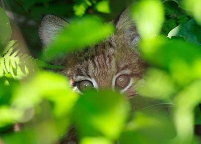 Photograph - Bobcat by Brian Magnier