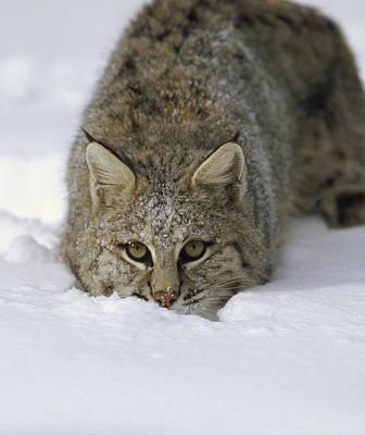 Bobcat Crouching In Snow Colorado Art Print by Konrad Wothe