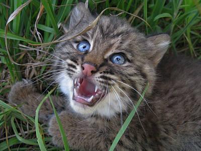 Bobcat Cub Original by John Irons