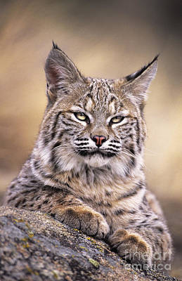 Art Print featuring the photograph Bobcat Cub Portrait Montana Wildlife by Dave Welling