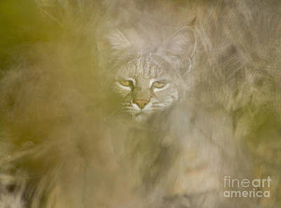 Photograph - Bobcat by Dan Suzio