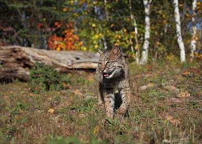 Photograph - Bobcat by Daniel Behm