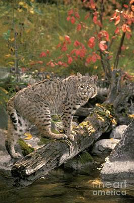 Bobcat Felis Rufus Art Print