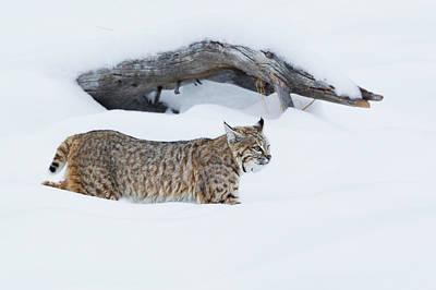 Bobcat Wall Art - Photograph - Bobcat, Hunting In Deep Snow by Ken Archer