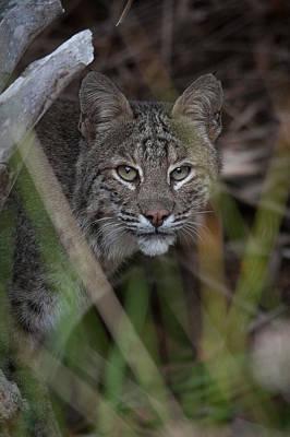 Bobcat Wall Art - Photograph - Bobcat In The Back Yard. by W Chris Fooshee