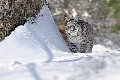 Photograph - Bobcat In Snow by Dan Friend