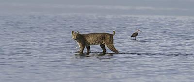 Male Bobcat Photograph - Bobcat by Kenneth Blye