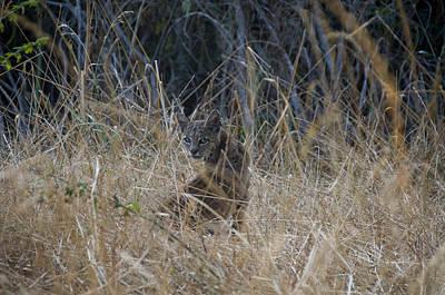 Bobcat Kitten In The Underbrush Art Print by Scott Lenhart