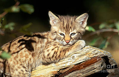 Bobcat Kitten Photograph - Bobcat Kitten Lynx Rufus by Art Wolfe