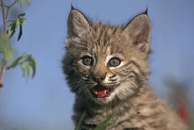 Bobcat Kitten Photograph - Bobcat Kitten by Tim Fitzharris