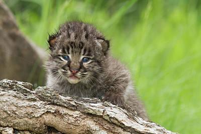 Bobcat Lynx Rufus Kitten Art Print by Debbie Dicarlo