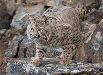 Bobcat On Rock Art Print by Jerry Fornarotto