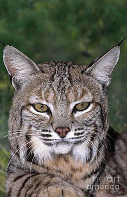 Art Print featuring the photograph Bobcat Portrait Wildlife Rescue by Dave Welling