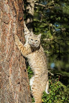 Bobcat Wall Art - Photograph - Bobcat Profile, Climbing Tree, Montana by Yitzi Kessock