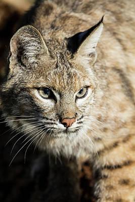 Bobcat Wall Art - Photograph - Bobcat Profile by Yitzi Kessock