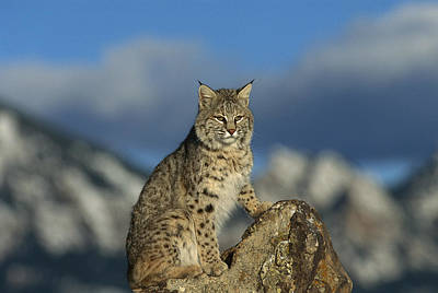Bobcat  Rocky Mountains Art Print by Konrad Wothe