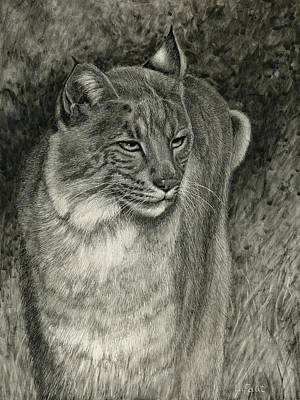 Drawing - Bobcat Emerging by Sandra LaFaut