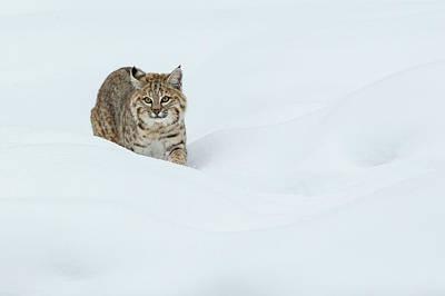 Bobcat Wall Art - Photograph - Bobcat, Stalking In Deep Snow by Ken Archer
