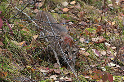 Bobcat Stalking Art Print