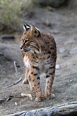 Photograph - Bobcat by Steven Frame