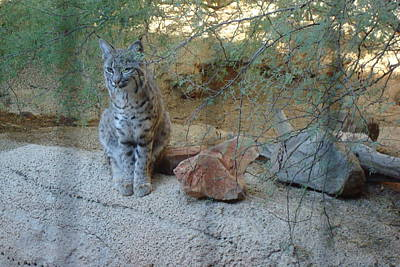 Photograph - Bobcat by Susan Woodward
