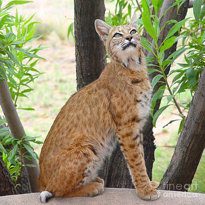 Photograph - Bobcat by Ursula Freer