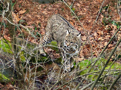 Art Print featuring the photograph Bobcat by William Tanneberger