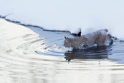 Bobcat Wall Art - Photograph - Bobcat, Winter River Crossing by Ken Archer