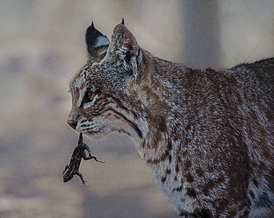 Photograph - Bobcat With Lizard by Lee Kirchhevel