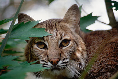 Photograph - Bobcat With Maple Leaves by Bradford Martin