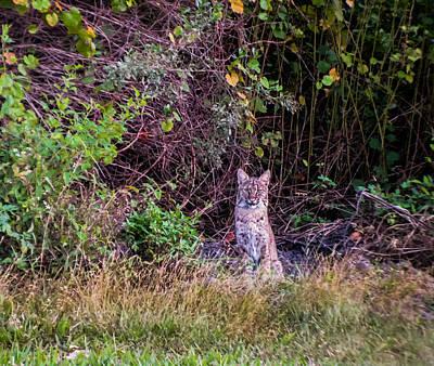 Florida Wildlife Photograph - Bobcat by Zina Stromberg