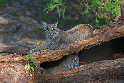 Bobcats At Rest Art Print