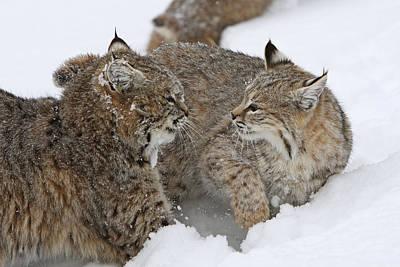 Felis Rufus Photograph - Bobcats by M. Watson