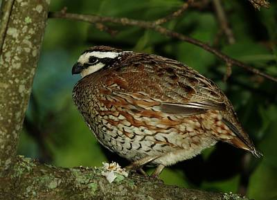 Photograph - Bobwhite by Billy  Griffis Jr